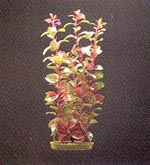 Blooming Red Ludwigia aquarium plant 8.5
