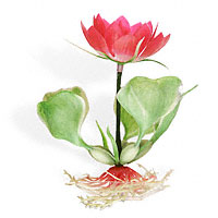 Flowering Water Lilly Plant 5.5