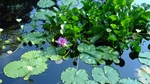 Orchid in a Reflecting Pool