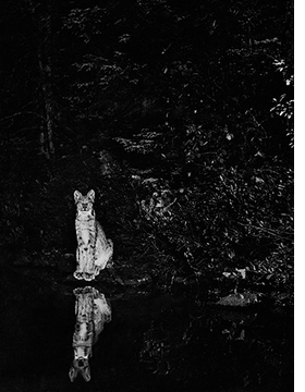 """Lynx on the shore of Loon Lake, near Lake Wanapitei, Ontario, Canada, July, 1902"" is reproduced from <I>George Shiras: In the Heart of the Dark Night</I>."