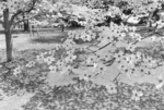 Lee Friedlander: Cherry Blossom Time in Japan