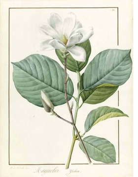 "Featured image, ""Magnolia yulan (Magnolia denudata)"" (1812), is reproduced from <I>Pierre-Joseph Redout�: Botanical Artist to the Court of France</I>."