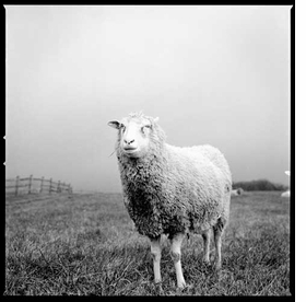Featured image, of a farm sheep named Hickory, is reproduced from <I>Sharon Lee Hart: Sanctuary</I>.