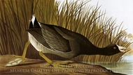 American Coot painting reproduction, John James Audubon