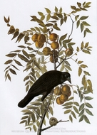 American Crow painting reproduction, John James Audubon