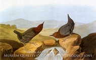 American Dipper by John James Audubon
