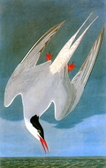 Arctic Tern painting reproduction, John James Audubon