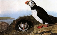 Atlantic Puffin painting reproduction, John James Audubon