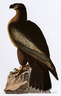 Bald Eagle by John James Audubon