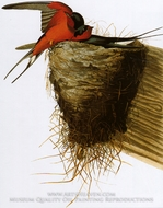 Barn Swallow by John James Audubon