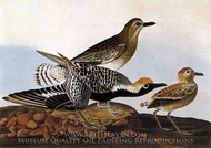 Black-Bellied Plower painting reproduction, John James Audubon