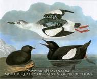 Black Guillemot by John James Audubon