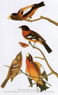 Black-Headed Grosbeak and Evening Grosbeak by John James Audubon