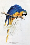Blue and Yellow Macaw painting reproduction, Edward Lear