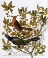Boat-Tailed Grackle by John James Audubon