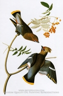 Bohemian Waxwing by John James Audubon