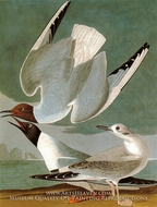 Bonapartes Gull by John James Audubon