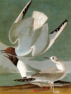 Bonapartes Gull painting reproduction, John James Audubon