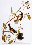 Boreal Chickadee by John James Audubon