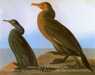 Brandts Cormorant by John James Audubon