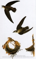 Chimney Swift by John James Audubon