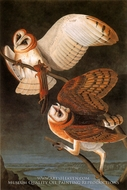 Common Barn Owl by John James Audubon