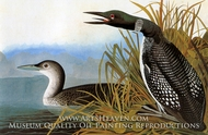 Common Loon by John James Audubon