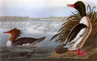 Common Merganser painting reproduction, John James Audubon