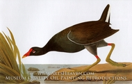 Common Moorhen by John James Audubon
