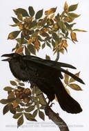 Common Raven by John James Audubon