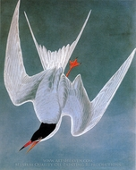 Common Tern painting reproduction, John James Audubon
