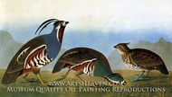 Crested Bobwhite and Mountain Quail by John James Audubon