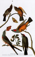 Flycatchers by John James Audubon