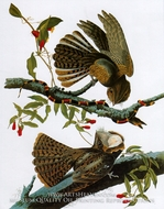 Goatssuckers by John James Audubon