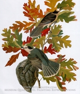Gray Jay by John James Audubon