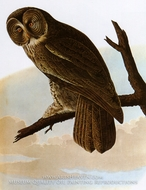Great Grey Owl by John James Audubon