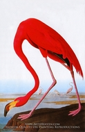 Greater Flamingo by John James Audubon