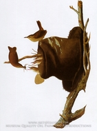 House Wren by John James Audubon