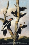 Ivory-billed Woodpeckers painting reproduction, Joseph Bartholomew Kidd