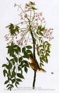 Loggerhead Shrike by John James Audubon
