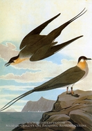 Long-Tailed Jaeger by John James Audubon