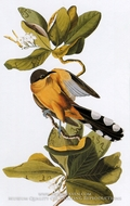 Mangrove Cockoo by John James Audubon