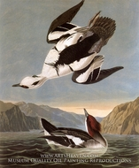 Mergansers by John James Audubon