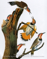 Northern Flicker by John James Audubon