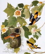 Northern Oriole by John James Audubon