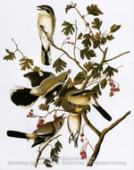 Northern Shrike by John James Audubon