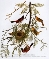 Orchard Oriole by John James Audubon