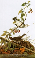 Ovenbird by John James Audubon