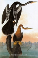 Pelicans by John James Audubon