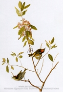 Ruby-Crowned Kinglet by John James Audubon